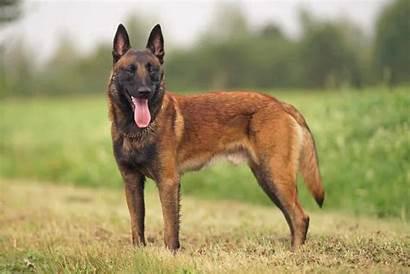Belgian Malinois German Dog Breed Shepherd Training