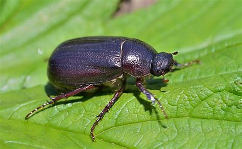 how to get rid of june beetles june bug beetle