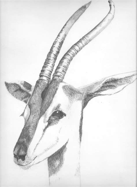 Pencil drawing of a Gazelle I photographed At the San Diego Zoo. | Animal drawings, Drawings