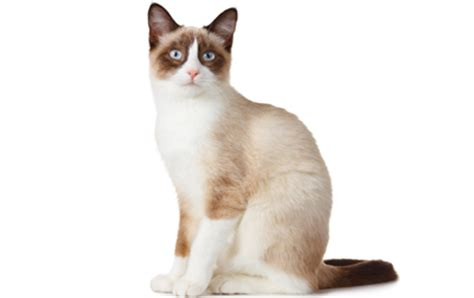 snowshoe cat history personality appearance health