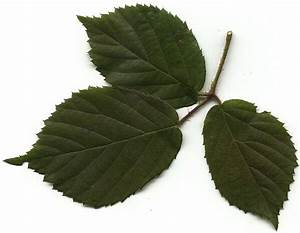 Stockrosen Blätter Haben Löcher : wandelndes blatt tierberatung von ~ Lizthompson.info Haus und Dekorationen