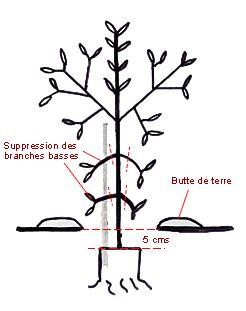 taille d un olivier en pot la plantation de l olivier de provence mon olivier de