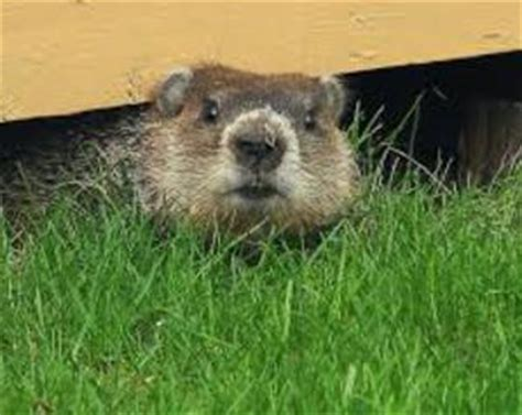 Image result for groundhog tunnels under shed