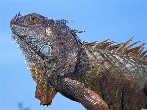 Animal Hd Wallpapers 1600x1200 - animals iguana 1600x1200 wallpaper high quality wallpapers