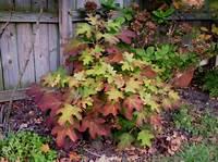 little honey hydrangea Hydrangea quercifolia 'Little Honey' | Hydrangea ...
