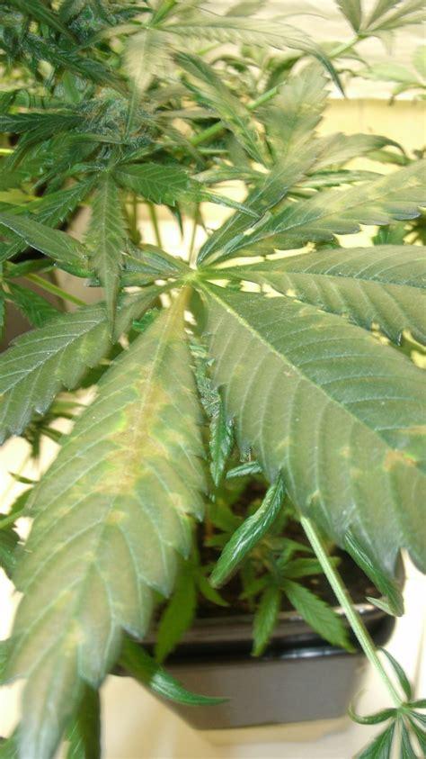 hortensien blätter werden braun bl 228 tter werden braun anf 228 nger cannabisanbauen net forum