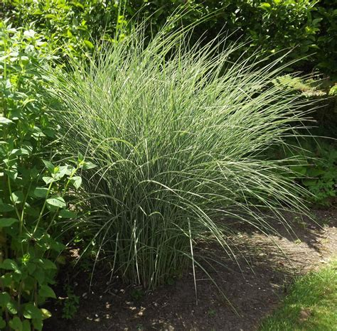 miscanthus morning light miscanthus sinensis morning light silver grass plants