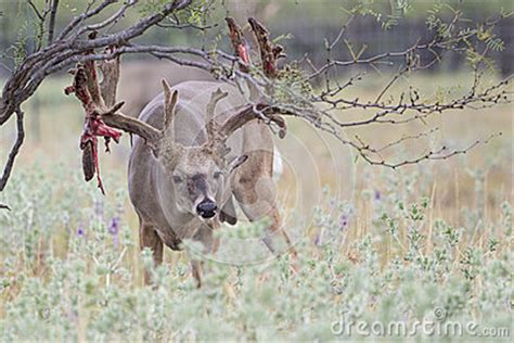Whitetail Deer Shedding Velvet by Extra Big Boone And Crockett Whitetail Buck Shedding His