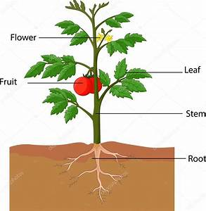 Showing The Parts Of A Tomato Plant  U2014 Stock Vector