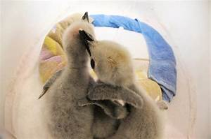 Picture: Baby penguins get cozy