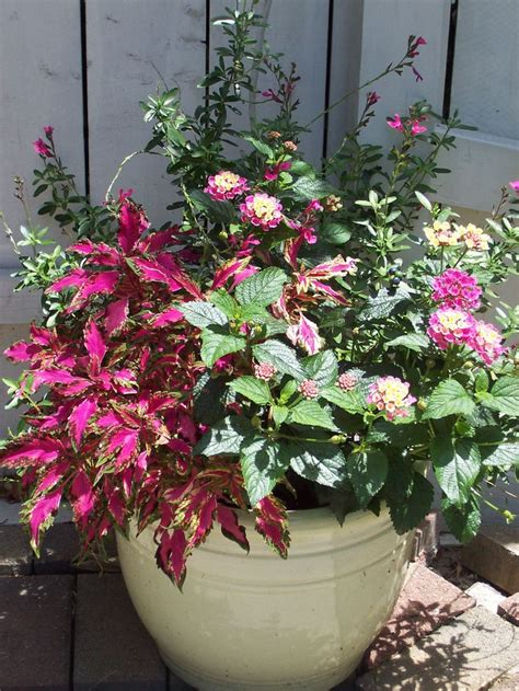 coleus container design lantana salvia coleus simple design container gardens pinterest gardens simple