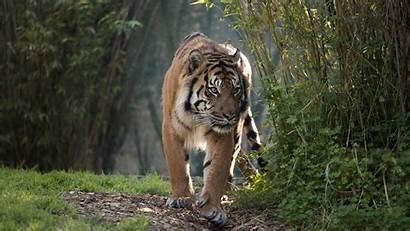 Jungle Tiger Animal Sumatran Tigers Animals Wild