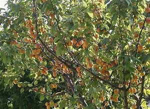 Taille De L Abricotier : arbres fruitiers abricotier ~ Dode.kayakingforconservation.com Idées de Décoration