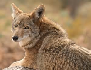 Central American Coyote