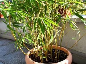 Bambus Pflanzen Kübel : bambus als sichtschutz f r terasse und balkon bambuswald bambus und pflanzenshop f r haus ~ Frokenaadalensverden.com Haus und Dekorationen