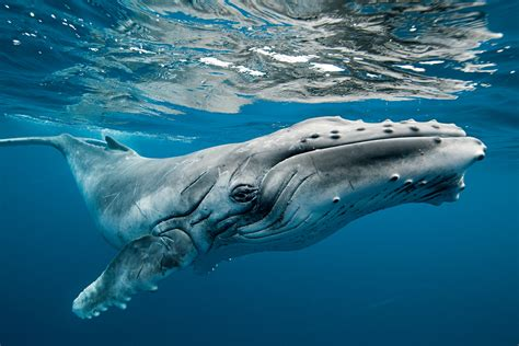 the rare beauty of dozens of migrating humpback whales