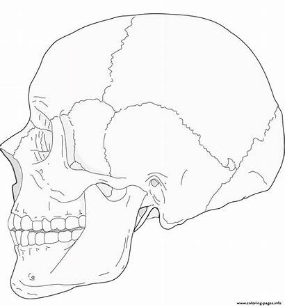 Skull Coloring Human Side Pages Printable
