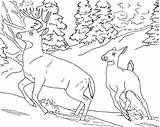 Deer Coloring Pages Printable Tailed Whitetail Buck Realistic Adults Animal Animals Printables Wild sketch template