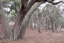 Xeric Hammock by Ordway Swisher Biological Station Uf Ifas