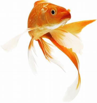Fish Drawings Goldfish Koi Coi Carp Texture