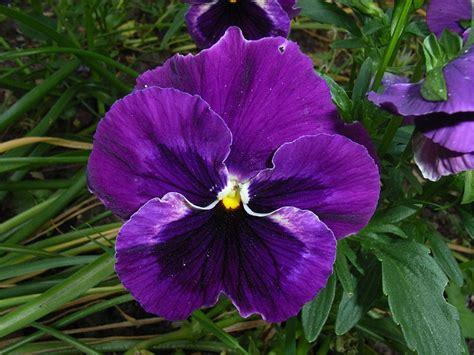foto gratis amor perfeito flor violeta imagem gratis