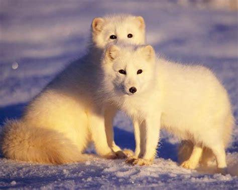 Info Masalah Kehamilan Hewan Hewan Eksotis Penguasa Arktik Kutub Utara Part 2