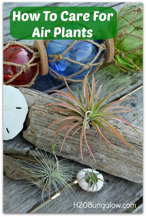 how to care for plant how to care for air plants h20bungalow