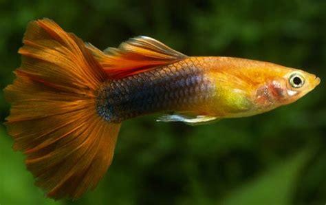 los peces de agua dulce