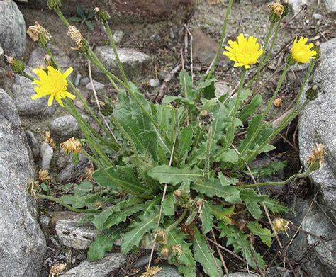 Leontodon hispidus subsp. dubius