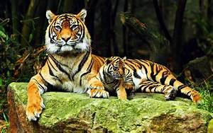 tigres | Imgurm