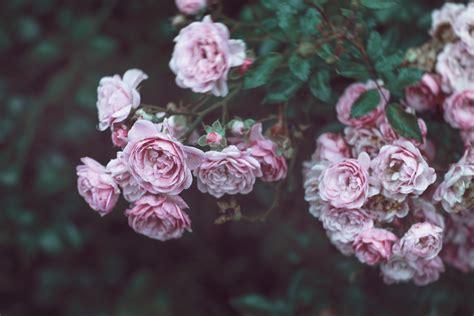 wallpaper roses  hd wallpaper  flowers pink