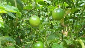 Passion Fruit Farming Makes Millionaires in Kenya ~ Agro ...