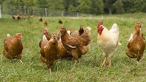 Pastured Poultry | Small Farm Sustainability