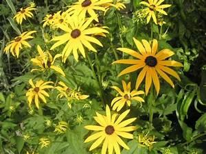 Sonnenhut Pflanze Kaufen : stauden 2 meter hoch stauden 2 meter hoch z 1 4 ten in zuhause im gluck betty leyland ~ Buech-reservation.com Haus und Dekorationen