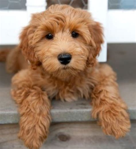 no shed dogs medium abc open how to an apricot coloured labradoodle