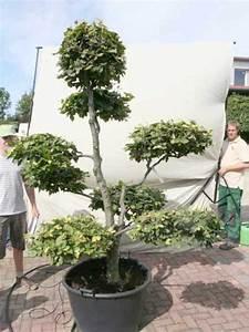 fagus sylvatica h 220 cm b 170 cm garten bonsai With whirlpool garten mit bonsai dünger