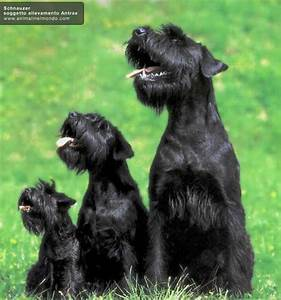 24 best images about Dogs on Pinterest | Giant schnauzer ...