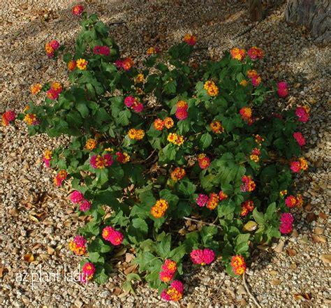 lantana plant flowers the color of a desert sunset ramblings from a desert garden
