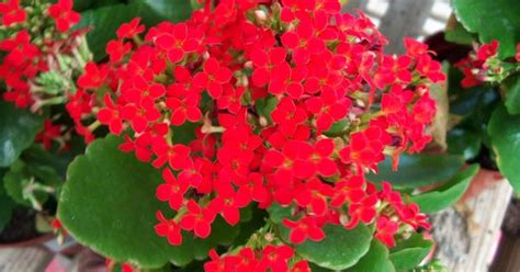kalanchoe poisonous to cats kalanchoe a carefree plant for our area just be sure not to over water provide a well