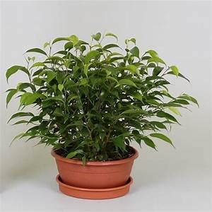 Ficus Benjamini Vermehren : ficus benjamina 39 natasja 39 p17cm h25cm floraccess ~ Lizthompson.info Haus und Dekorationen