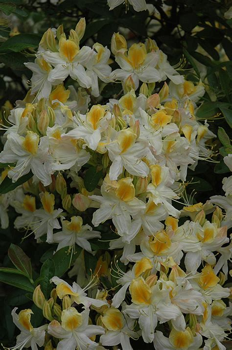 Hi Lights northern hi lights azalea rhododendron northern hi