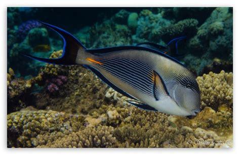 Red Sea Fish 4k Hd Desktop Wallpaper For 4k Ultra Hd Tv