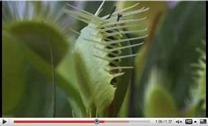 Plante Repulsif Mouche : la dion e attrape mouche une plante carnivore d couvrir en vid o ~ Melissatoandfro.com Idées de Décoration