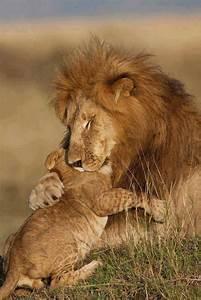 The Wild Hug : this lion hugging his baby is so sweet cute animals pinterest sons father and animals ~ Eleganceandgraceweddings.com Haus und Dekorationen
