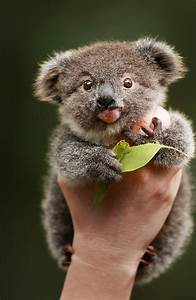These pictures of Archer the baby koala will instantly ...