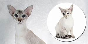 Colorpoint Shorthair Cat Price | Cute Cats