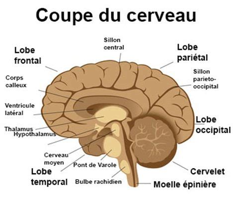 cerveau definition docteurcliccom