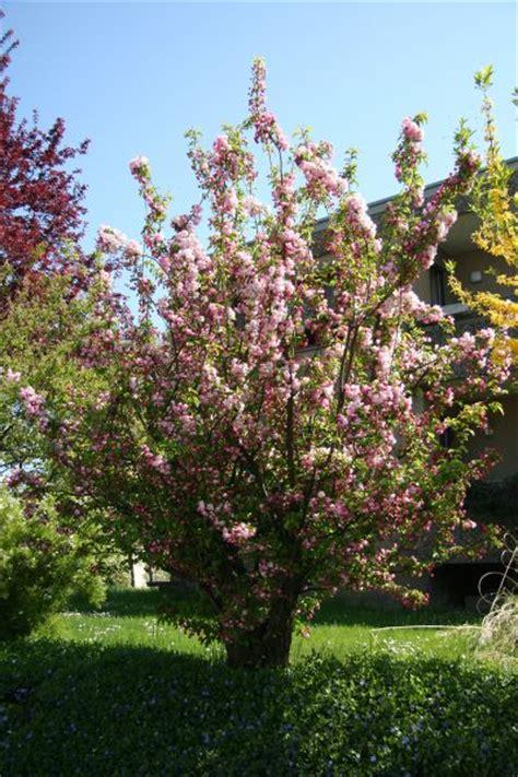 zierapfel bonsaipflegech