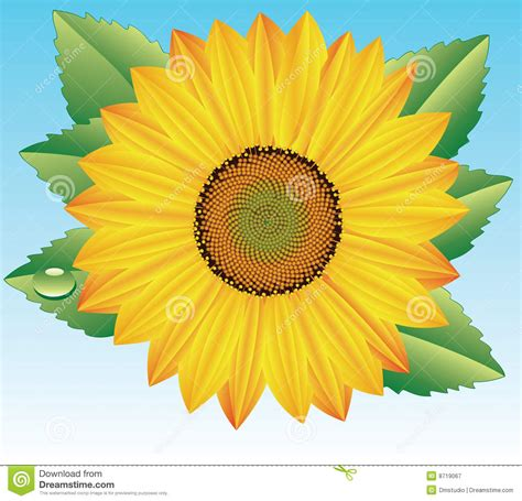 vector sunflower royalty  stock photography image