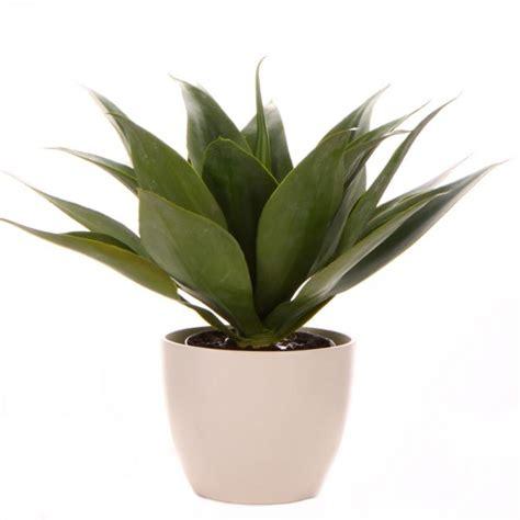 agave in vaso palms24 piante da vaso piante in vaso agave 35